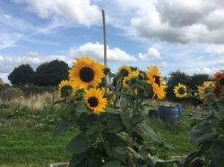 Sunflowers Suicide Support